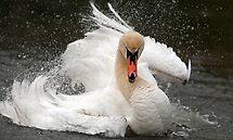 Swan attitude by Darren Bailey LRPS