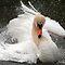 Species Specific - Mute Swan (Cygnus olor)