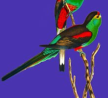 Illustration of the extinct Paradise Parrot by marmur