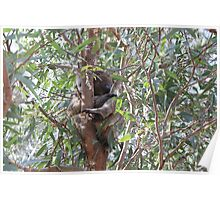 Koala in a tree, Morialta Conservation Park, S.A. Poster