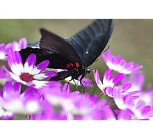 Butterfly with a Purple passion Photographic Print
