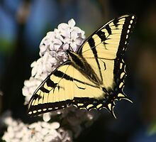 Eastern Tiger Swallowtail by Sean McConnery