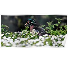 Wood Duck amongst the daisies Poster