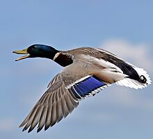 Mallard flight control by Darren Bailey LRPS