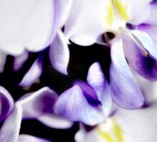 Purple wisteria flowers Sticker