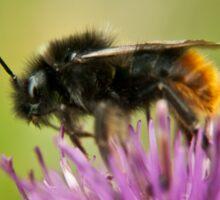 Bee on a thistle macro Sticker