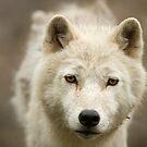 Arctic Stare by Daniel  Parent