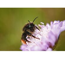Pollen Covered Bee macro Photographic Print