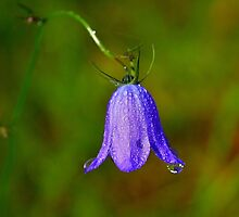 Bluebell Morning Dew by Jo Nijenhuis