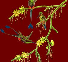 The booted racket-tail  by marmur