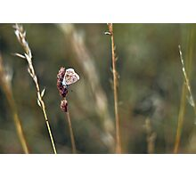 Brown Argus butterfly Photographic Print