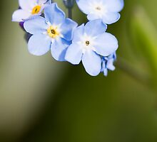 Forget~Me~Not by Lynne Morris