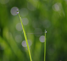 Dew grass web by Al Williscroft