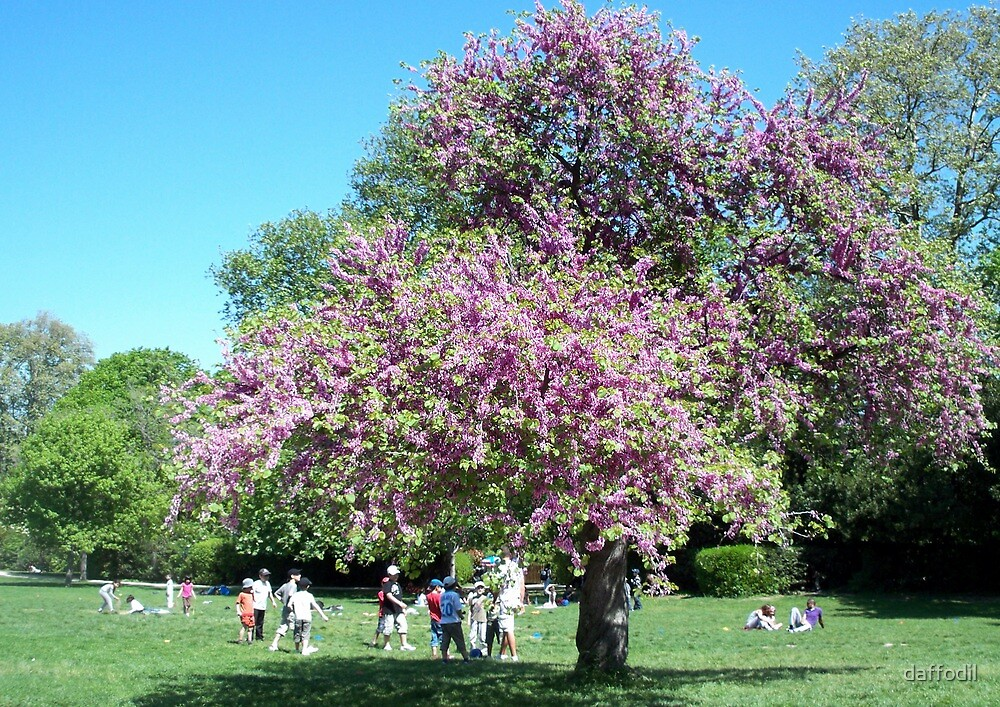 Magnificent Judas tree in the Borely Park by daffodil