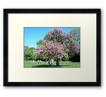 Magnificent Judas tree in the Borely Park Framed Print