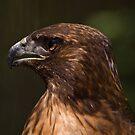 Hawk by ejlinkphoto
