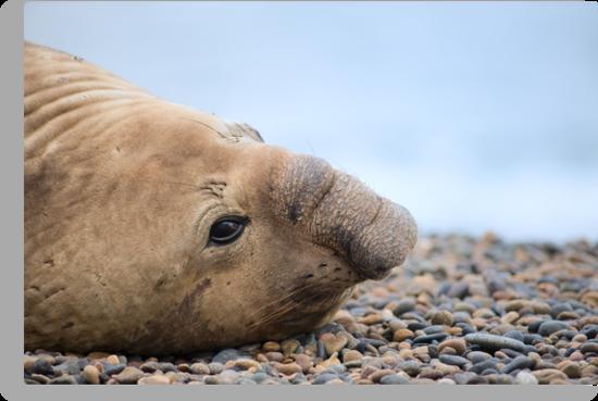 Elephant Seal. by Pablo Caridad
