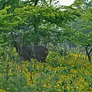 Roe buck in a field of yellow by Russell Couch