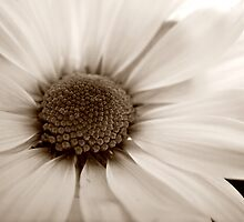 White Chrysanthemum sepia flower by Vicki Field