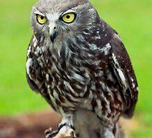 Green Eyes - barking owl by Jenny Dean