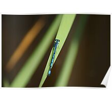 Blue Damsel Fly #3 Poster