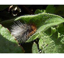 Fluffy Caterpillar Photographic Print