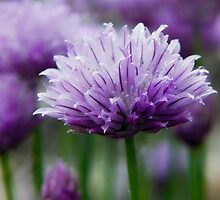 Chives by Susie Peek
