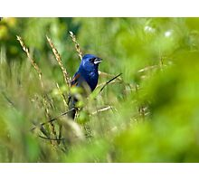 Blue Grosbeak in Habitat Photographic Print