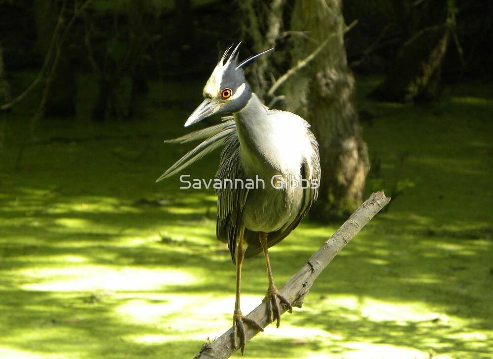 Yellow-crowned Night Heron by Savannah Gibbs