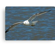 Ring Billed Gull in Flight Canvas Print