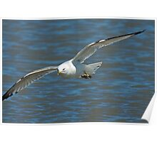 Ring Billed Gull in Flight Poster