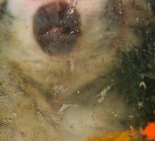 Common Squirrel Monkey behind glass by Gabor Pozsgai