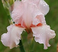 Soft Pink Rainy Day by Jonice