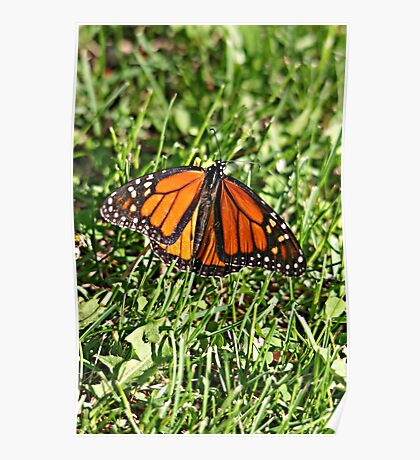 Monarch Butterfly in May? Poster