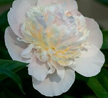 The first peony of the year by Jim Butera