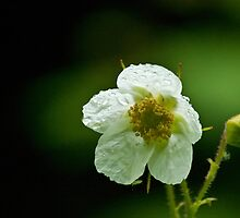 Thimbleberry Flower by Rick Ruppenthal