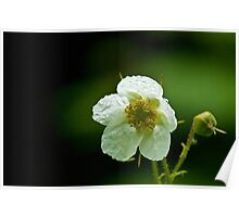 Thimbleberry Flower Poster