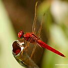 DRAGONFLY SERIES - Red-veined Dropwing – TRITHEMISM ARTERIOSA by Magriet Meintjes