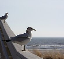 Ring-billed gulls relaxing. by William Brennan