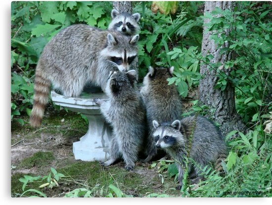 Raccoon Mom with 4 Kits by Jean Gregory  Evans