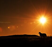 Sunrise Sheep by Andreas Stridsberg