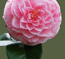 Camellia by newfan
