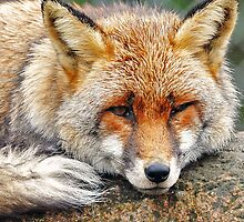Foxy eyes by Alan Mattison