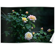 """Late Evening Country Rose"" Poster"