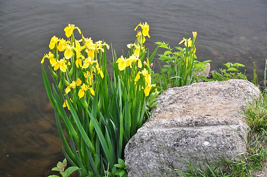 Yellow Water Irises by mltrue