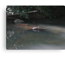 Argentinian Turtle Canvas Print