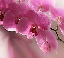 Pink Beauty by Danuta Antas