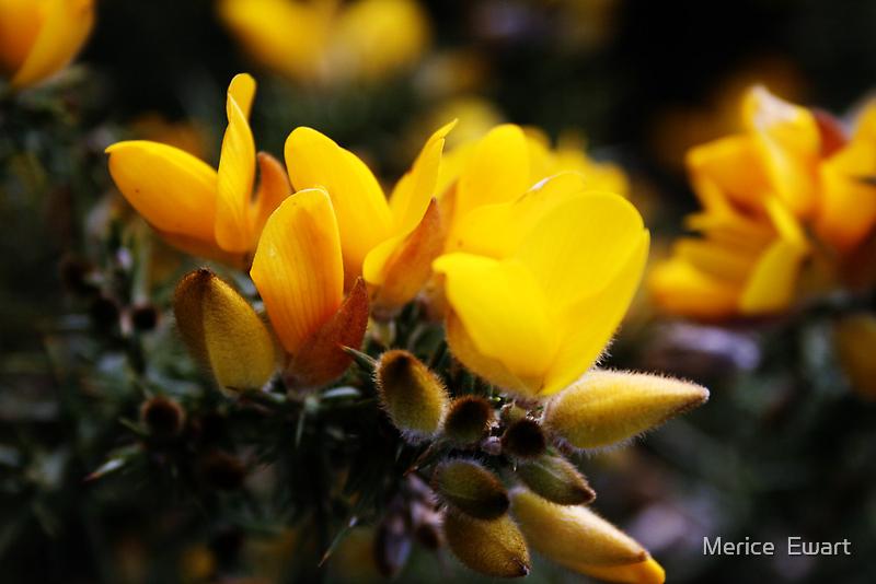"""""""Yellow"""" Gorse by Merice  Ewart-Marshall - LFA"""
