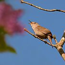SINGING HOUSE WREN by Sandy Stewart