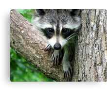 RACCOON PORTRAIT WITH PAWS & CLAWS  Canvas Print